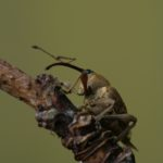Słonik (słonkowiec) orzechowiec (Curculio nucum)
