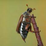 Chrabąszcz majowy (Melolontha melolontha)