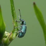Naliściak brzozowiak (Phyllobius betulae)