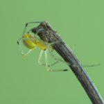 Zawijak żółtawy (Enoplognatha ovata)