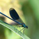 Świtezianka błyszcząca (Calopteryx splendens)
