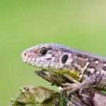 Jaszczurka zwinka (Lacerta agilis)