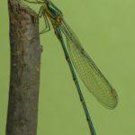 Pałątka zielona (Chalcolestes viridis)