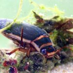 Pływak żółtobrzeżek (Dytiscus marginalis)
