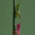Złotawek nieparek (Chrysochraon dispar) i Skoczek zielony (Omocestus viridulus)