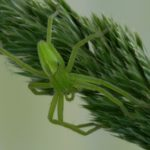 Spachacz zielonawy (Micrommata virescens)