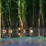 Krzyżówka (Anas platyrhynchos)