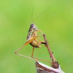 Prawdopodobnie Podłatczyn Roesela (Metrioptera Roeseli)