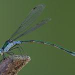 Pałątka pospolita (Lestes sponsa)