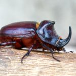 Rohatyniec nosorożec (Oryctes nasicornis)