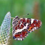 Rusałka kratkowiec (Araschnia levana)