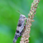 Siwoszek błękitny (Oedipoda caerulescens)