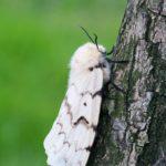Brudnica nieparka (Lymantria dispar) - samica
