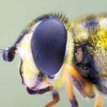 Prawdopodobnie Bzygowate (Syrphidae)