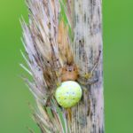 Krzyżak zielony (Araniella cucurbitina)