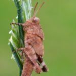 Siwiszek czerwony (Oedipoda germanica)