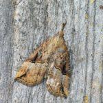Rozszczepka nosatka (Hypena rostralis) - samica
