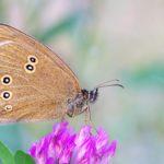 Przestrojnik trawnik (Aphantopus hyperantus)