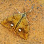 Znamionówka starka (Orgyia antiqua)
