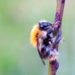 Trzmiel rudy (Bombus pascuorum)