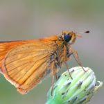 Karłątek kniejnik (Ochlodes venatus)