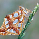 Dostojka Latonia (Issoria Lathonia)