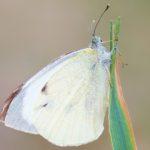 Bielinek kapustnik (Pieris brassicae) - samica