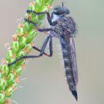 Chyba Łowiec czarniawy (Machimus atricapillus)