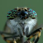 Jusznica deszczowa (Haematopota pluvialis)