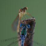 Pałątka pospolita (Lestes sponsa) i Straszka pospolita (Sympecma fusca)