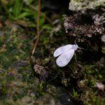 Mączlik szklarniowy (Trialeurodes vaporariorum)