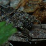 Skakun cienkoczułki (Tetrix tenuicornis)