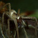 Darownik przedziwny (Pisaura mirabilis)