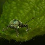 Naliściak (Phyllobius sp.)