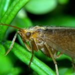 Chruścik Limnephilus lunatus