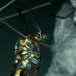 Muchówka Nephrotoma quadrifaria