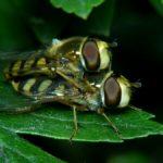 Prawdopodobnie Bzyg prążkowany (Episyrphus balteatus)