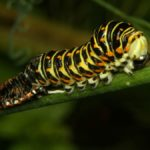 Paź królowej (Papilio machaon) - gąsienica podczas wylinki