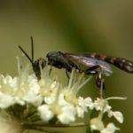 Gąsieniczniki (Ichneumonidae)