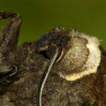 Trociniarka czerwica (Cossus cossus)