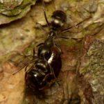 Prawdopodobnie Pierwomrówka łagodna (Formica fusca)