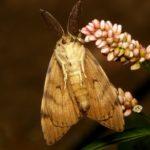 Brudnica nieparka (Lymantria dispar) - samiec
