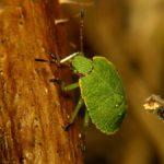 Odorek zieleniak (Palomena prasina) - larwa