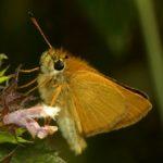 Karłątek leśny (Thymelicus sylvestris)