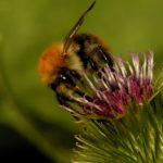 Prawdopodobnie Trzmiel rudy (Bombus pascuorum)