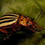 Stonka ziemniaczana (Leptinotarsa decemlineata)