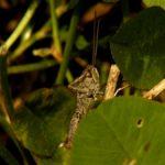 Konik pospolity (Chortippus biguttulus syn. Glyptobothrus biguttulus)