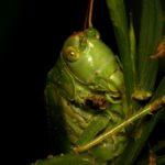 Pasikonik zielony (Tettigonia viridissima)
