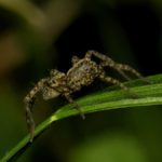 Wałęsak (Pardosa sp.)