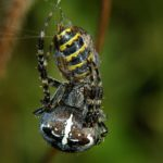 Krzyżak ogrodowy (Araneus diadematus)